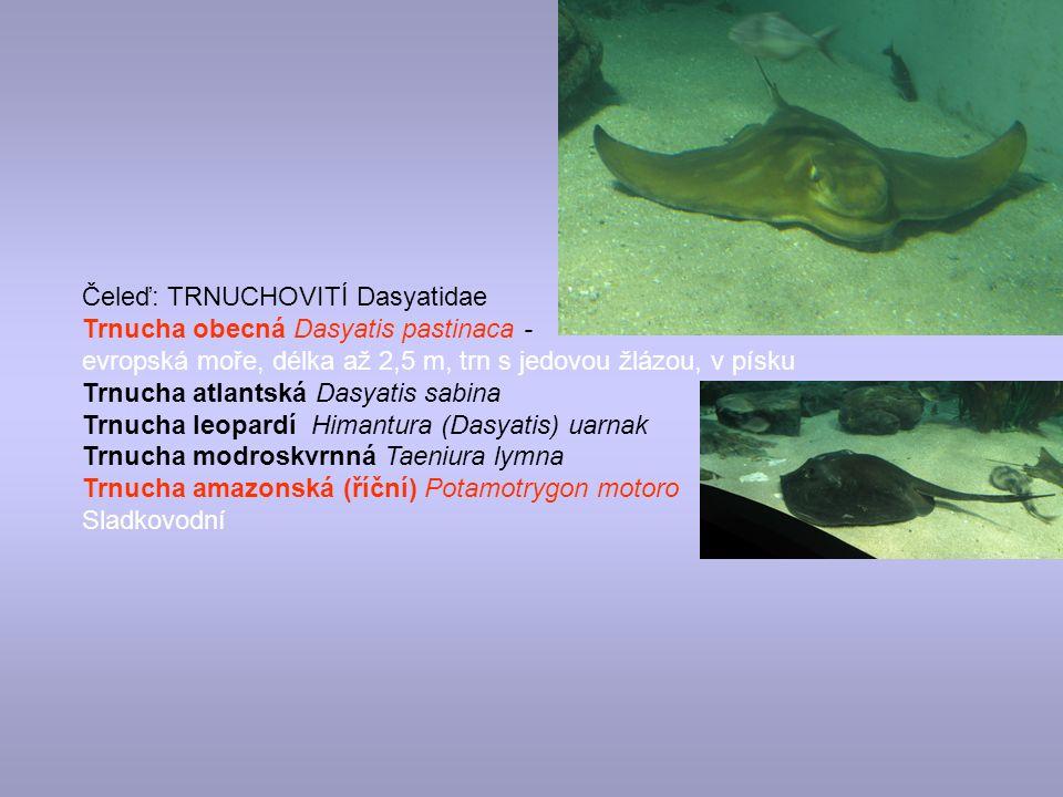 Čeleď: TRNUCHOVITÍ Dasyatidae