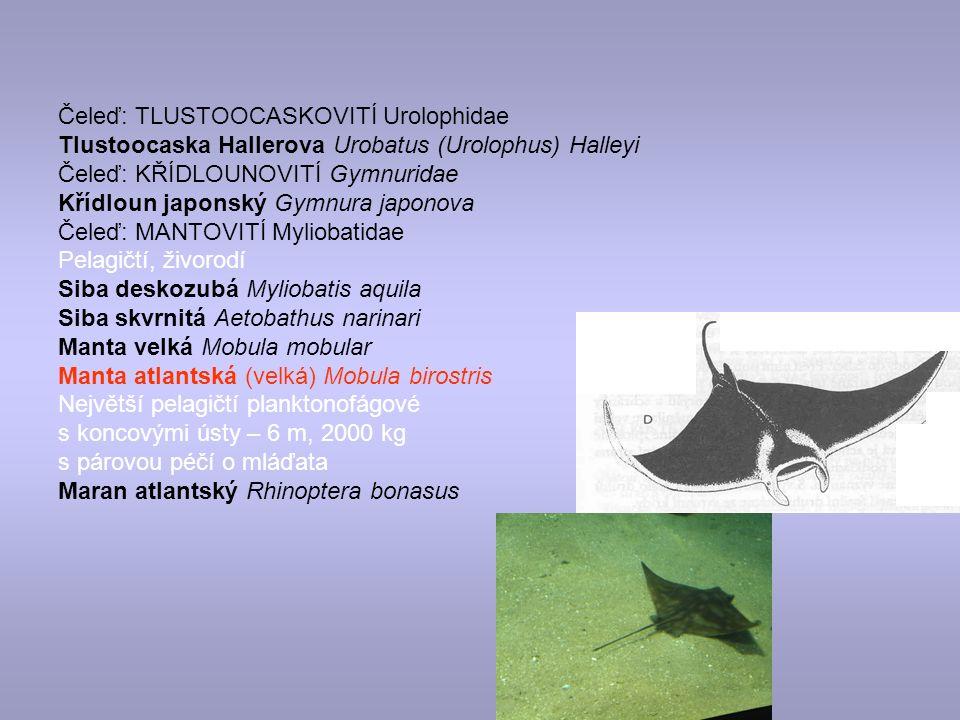 Čeleď: TLUSTOOCASKOVITÍ Urolophidae
