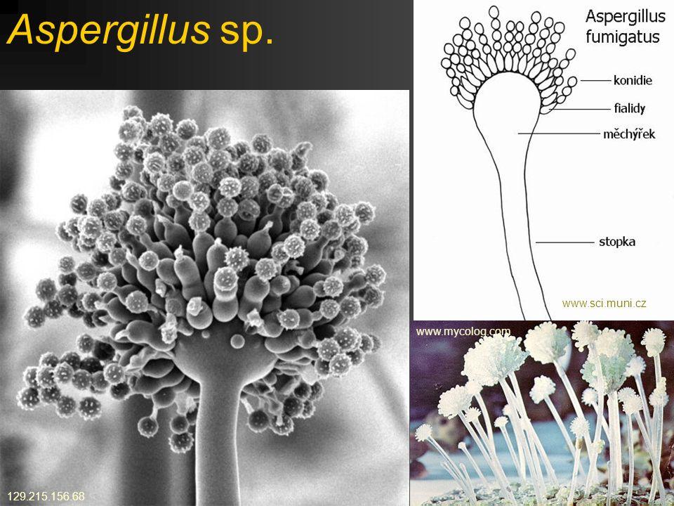 Aspergillus sp. www.sci.muni.cz www.mycolog.com 129.215.156.68