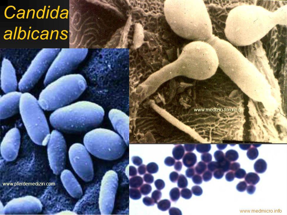 Candida albicans www.medizin-forum.de www.pferdemedizin.com