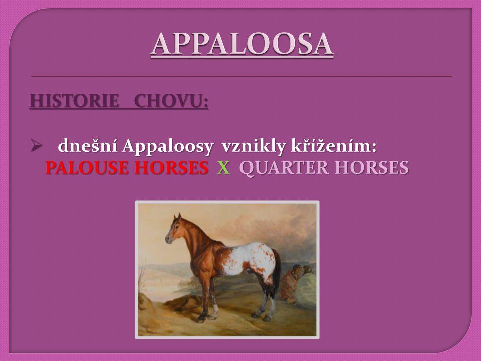 APPALOOSA HISTORIE CHOVU: dnešní Appaloosy vznikly křížením: