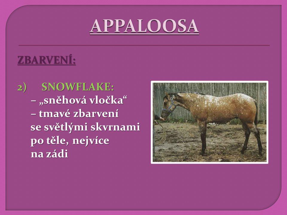 """APPALOOSA ZBARVENÍ: SNOWFLAKE: – """"sněhová vločka – tmavé zbarvení"""