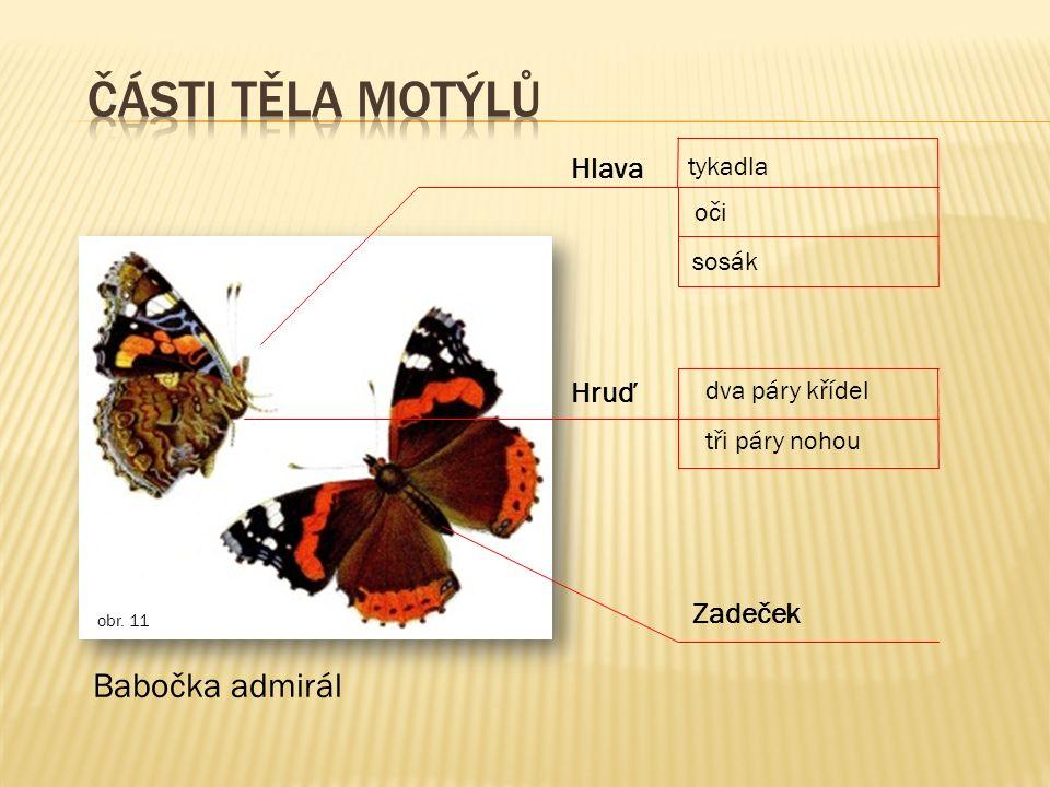 Části těla motýlů Babočka admirál Hlava Hruď Zadeček tykadla oči sosák