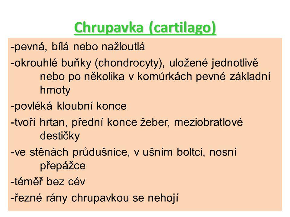 Chrupavka (cartilago)