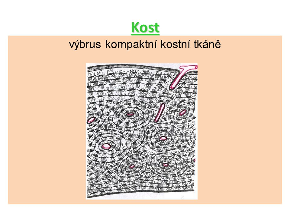 Kost výbrus kompaktní kostní tkáně výbrus kompaktní kostní tkáně 17