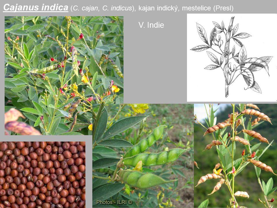 Cajanus indica (C. cajan, C. indicus), kajan indický, mestelice (Presl)