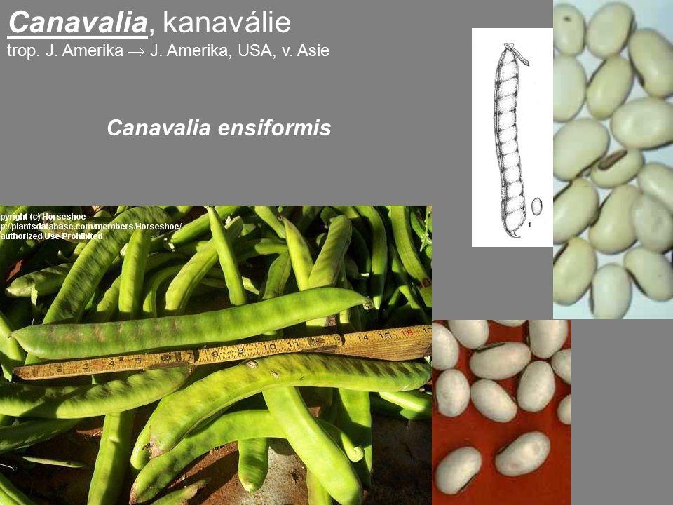 Canavalia, kanaválie Canavalia ensiformis