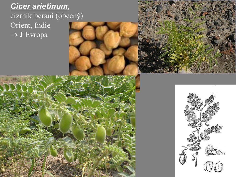 Cicer arietinum, cizrník beraní (obecný) Orient, Indie  J Evropa