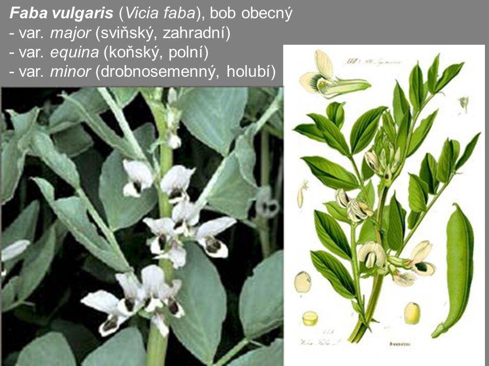 Faba vulgaris (Vicia faba), bob obecný