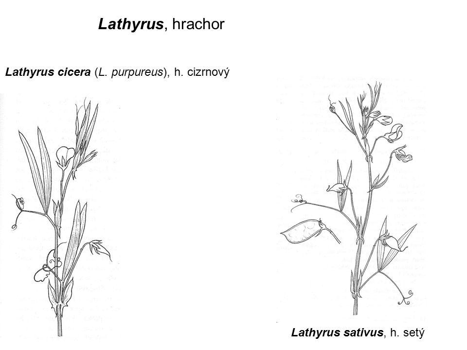 Lathyrus, hrachor Lathyrus cicera (L. purpureus), h. cizrnový