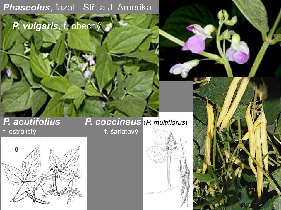 Phaseolus, fazol - Stř. a J. Amerika