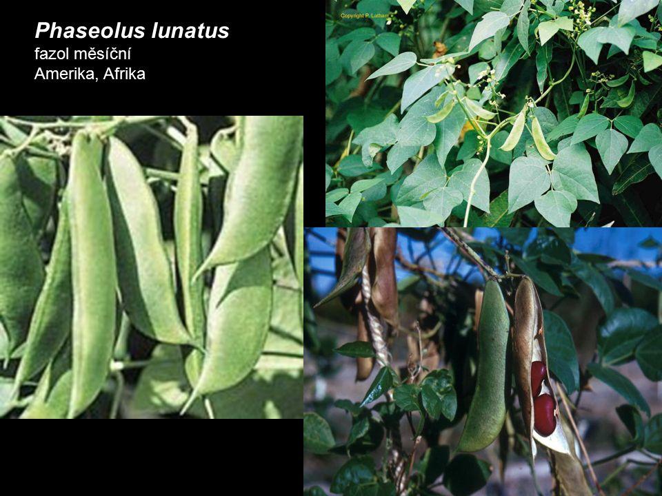 Phaseolus lunatus fazol měsíční Amerika, Afrika