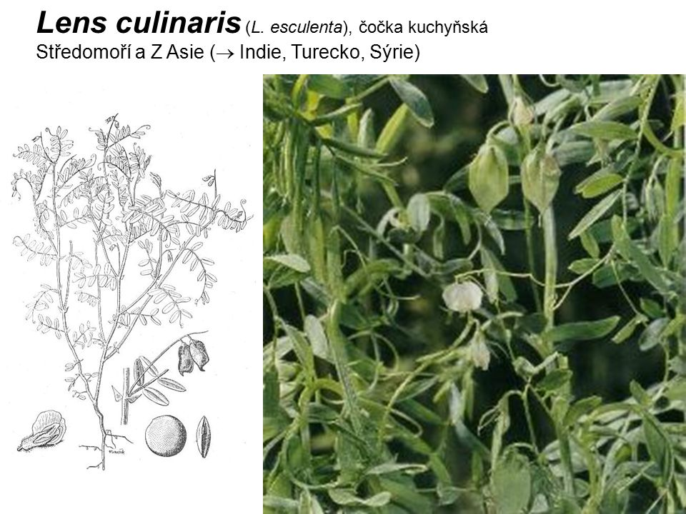 Lens culinaris (L. esculenta), čočka kuchyňská