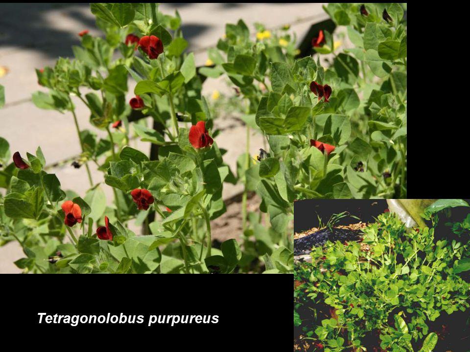 Tetragonolobus purpureus