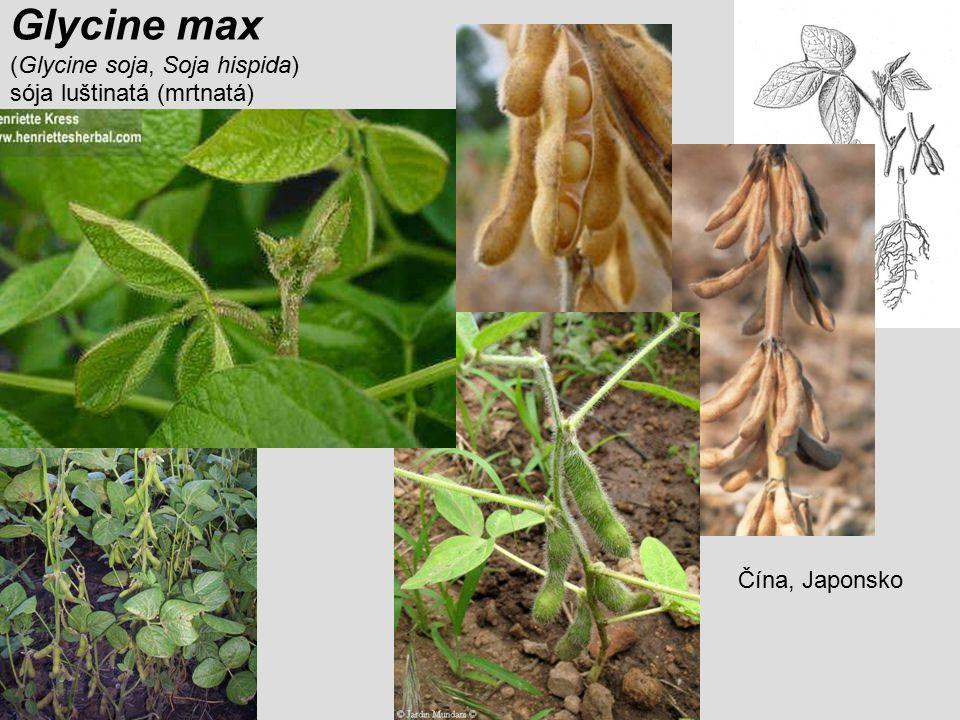 Glycine max (Glycine soja, Soja hispida) sója luštinatá (mrtnatá)