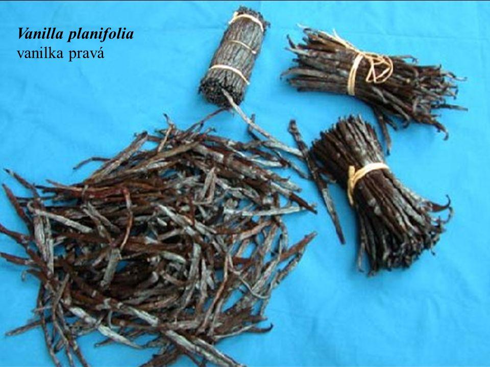 Vanilla planifolia vanilka pravá
