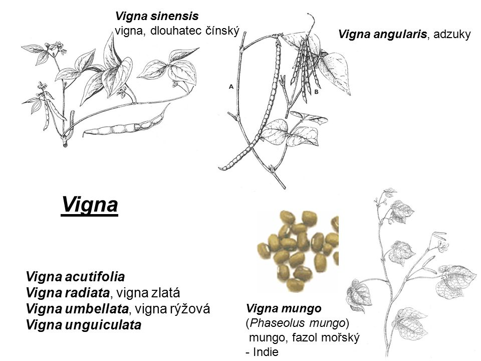 Vigna Vigna acutifolia Vigna radiata, vigna zlatá