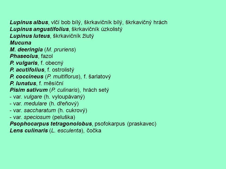 Lupinus albus, vlčí bob bílý, škrkavičník bílý, škrkavičný hrách