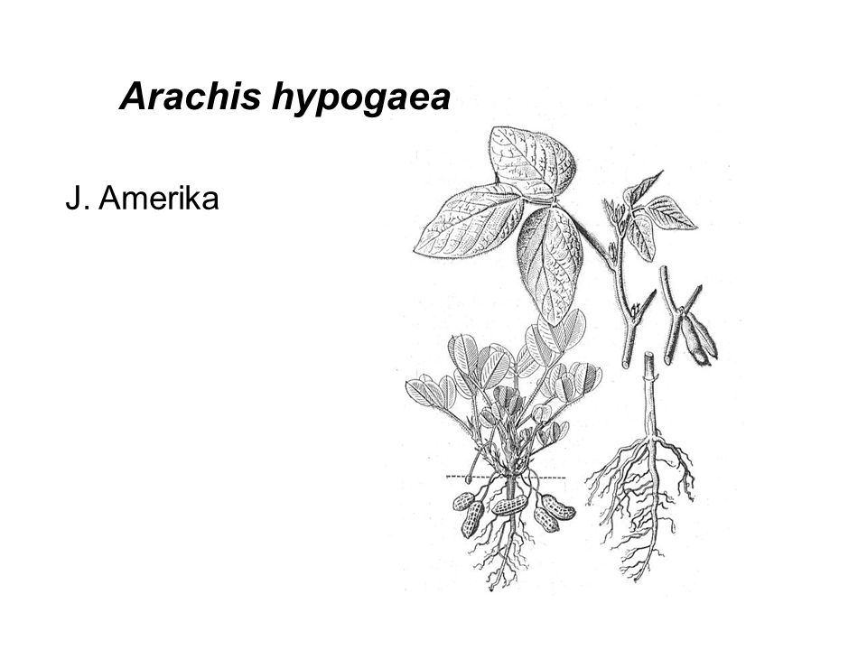 Arachis hypogaea J. Amerika