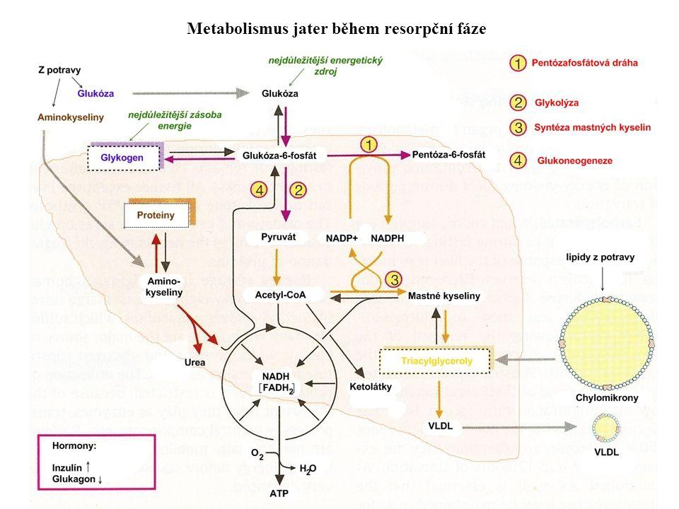Metabolismus jater během resorpční fáze