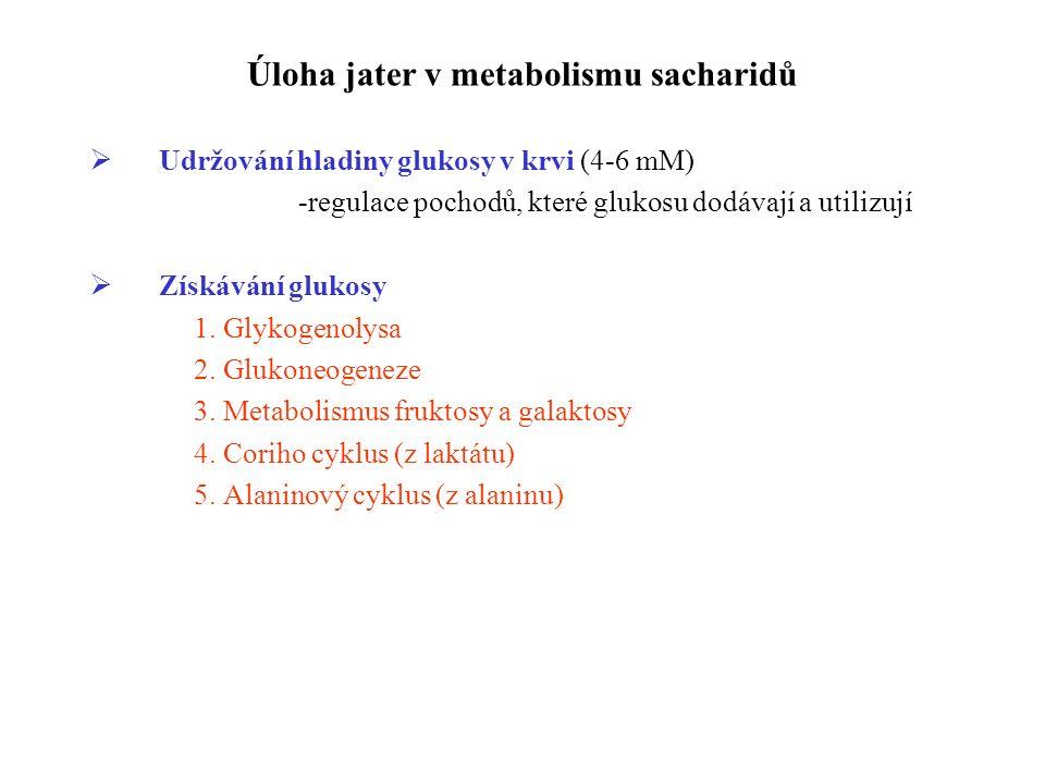 Úloha jater v metabolismu sacharidů