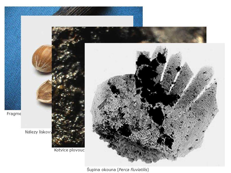 Fragment ratiště z borového dřeva (9500 ± 50 BP)