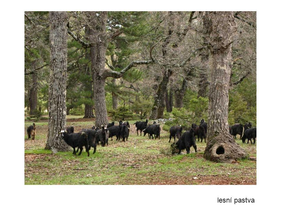 lesní pastva 38