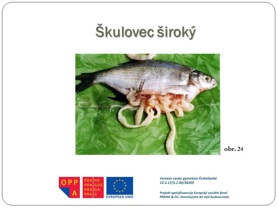 Škulovec široký http://biostudia.blogspot.cz/2013/09/helmintologie.html obr. 24