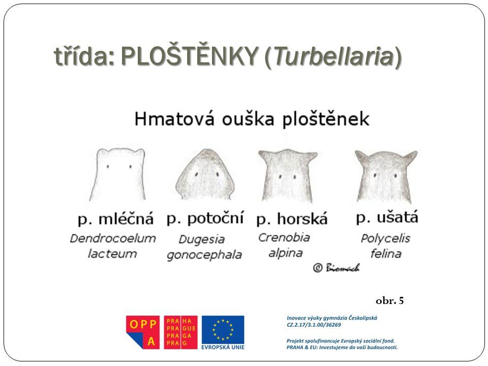 třída: PLOŠTĚNKY (Turbellaria)
