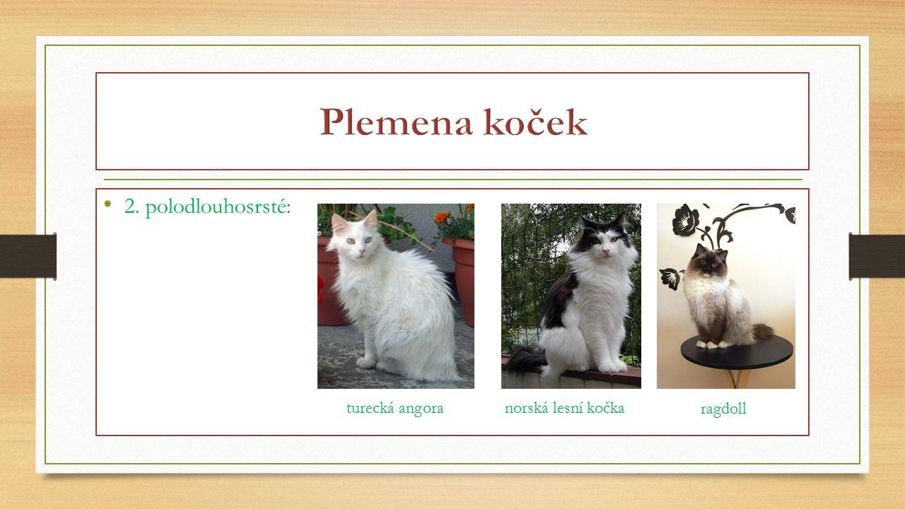 Plemena koček 2. polodlouhosrsté: turecká angora norská lesní kočka