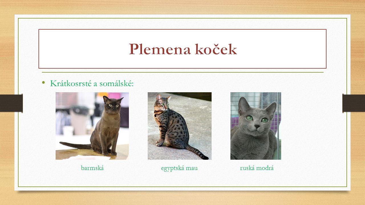 Plemena koček Krátkosrsté a somálské: barmská egyptská mau ruská modrá