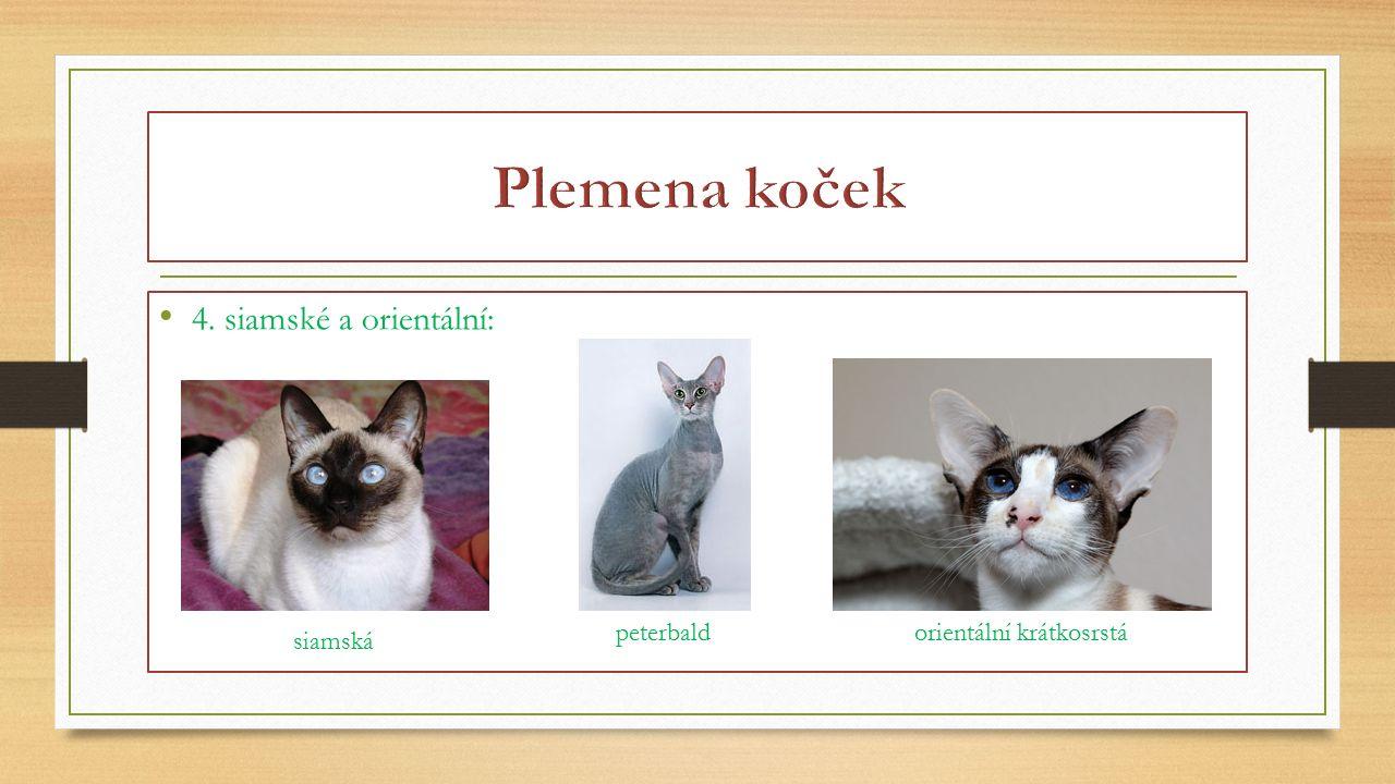 Plemena koček 4. siamské a orientální: peterbald