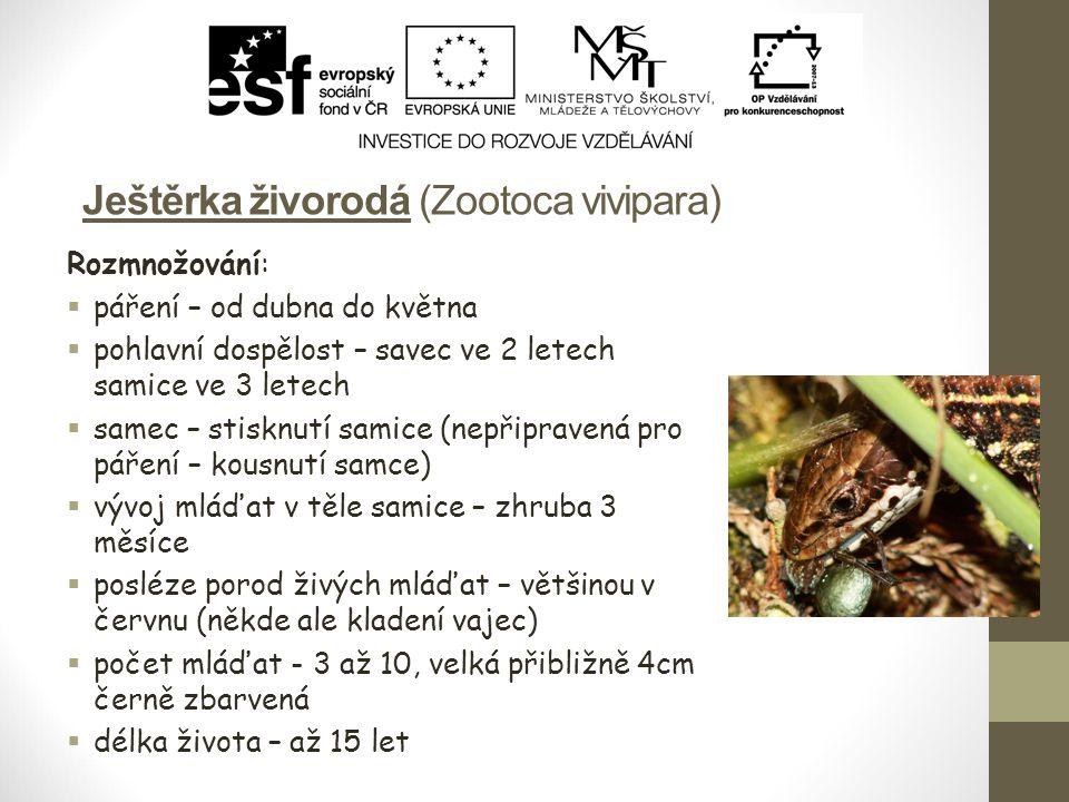 Ještěrka živorodá (Zootoca vivipara)