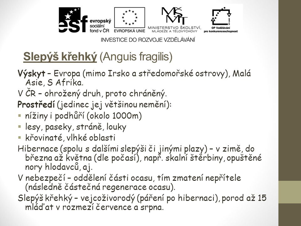 Slepýš křehký (Anguis fragilis)