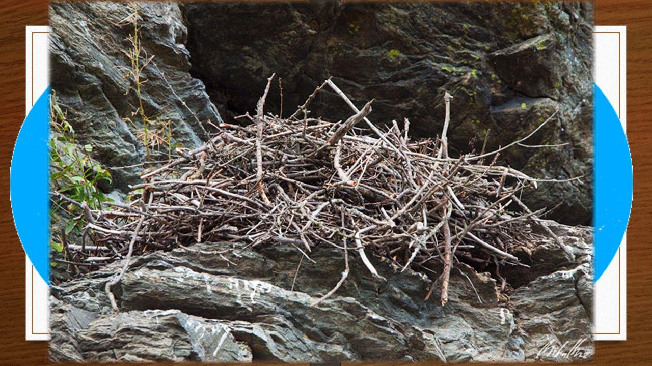 Způsob života Není tažný Hnízdo na vysoké skále, stromě Mláďata - holá
