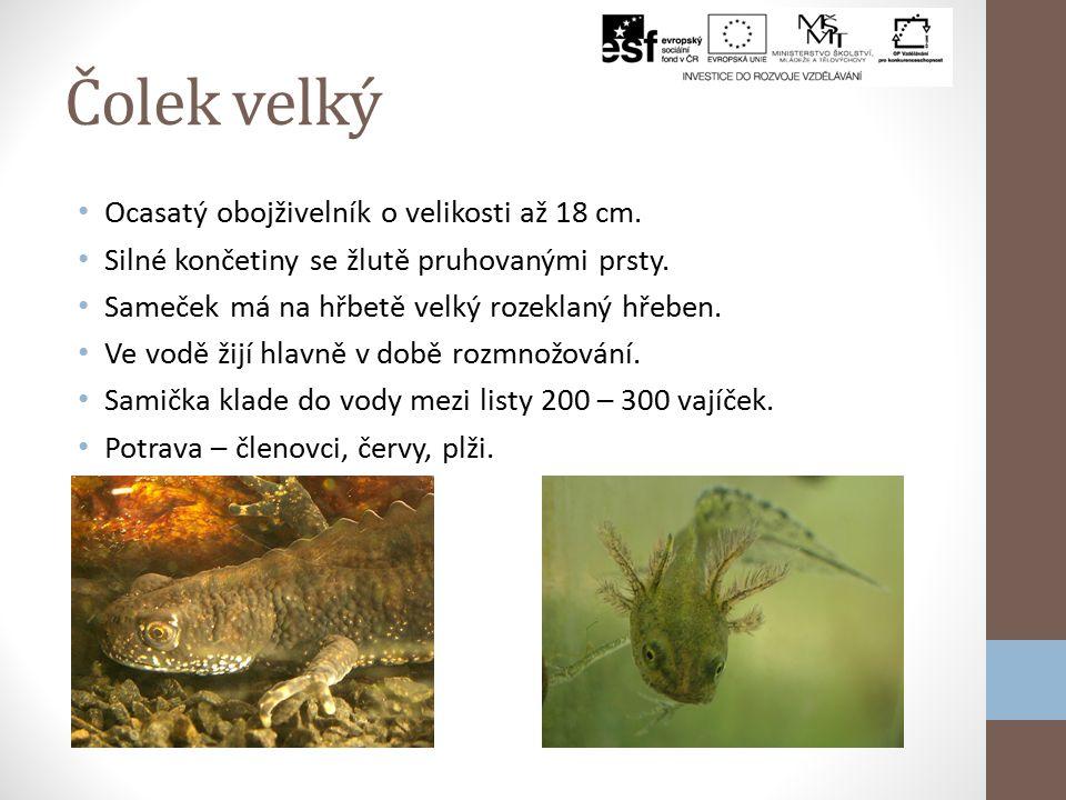 Čolek velký Ocasatý obojživelník o velikosti až 18 cm.