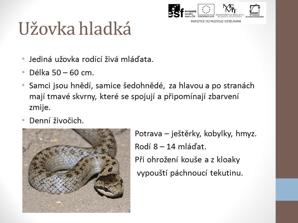 Užovka hladká Jediná užovka rodící živá mláďata. Délka 50 – 60 cm.