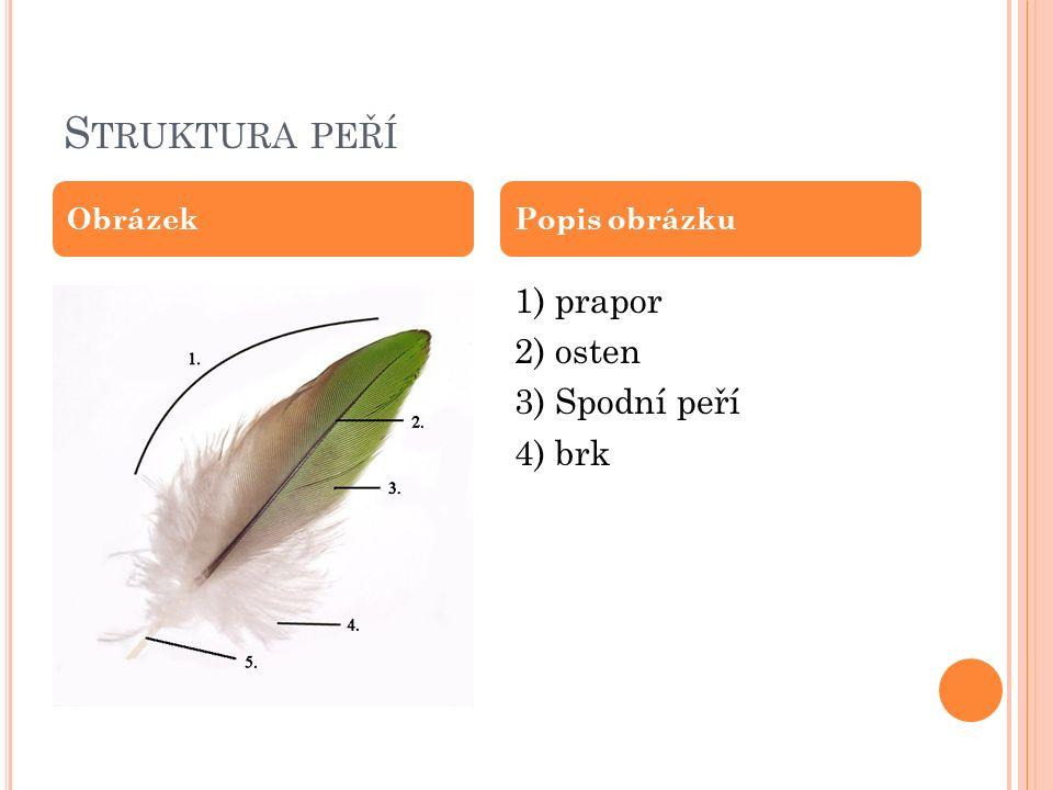 Struktura peří 1) prapor 2) osten 3) Spodní peří 4) brk Obrázek