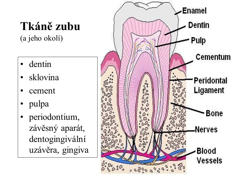Tkáně zubu (a jeho okolí)
