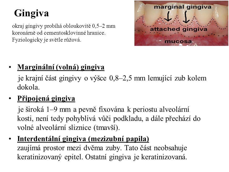 Gingiva Marginální (volná) gingiva