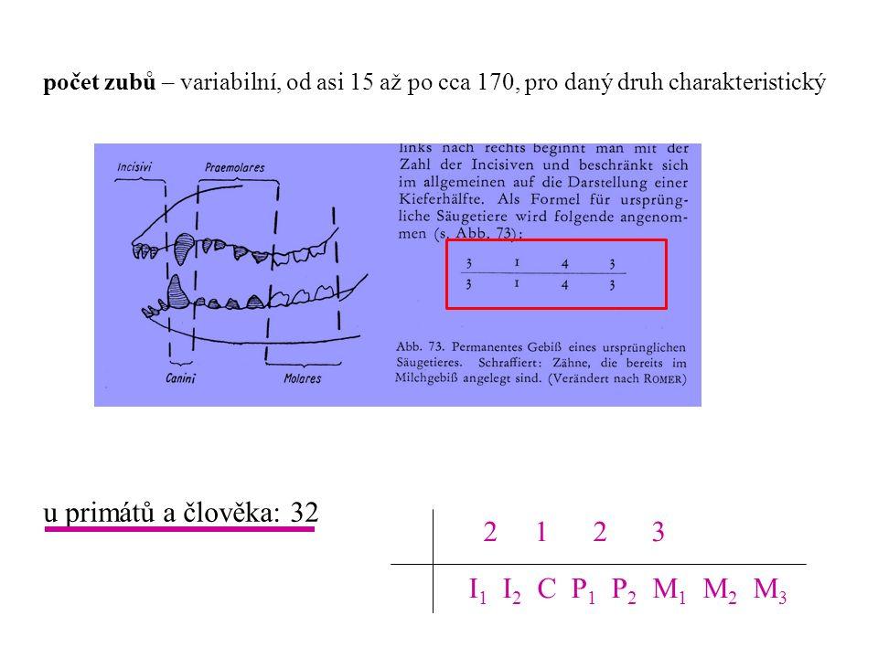 u primátů a člověka: 32 2 1 2 3 I1 I2 C P1 P2 M1 M2 M3