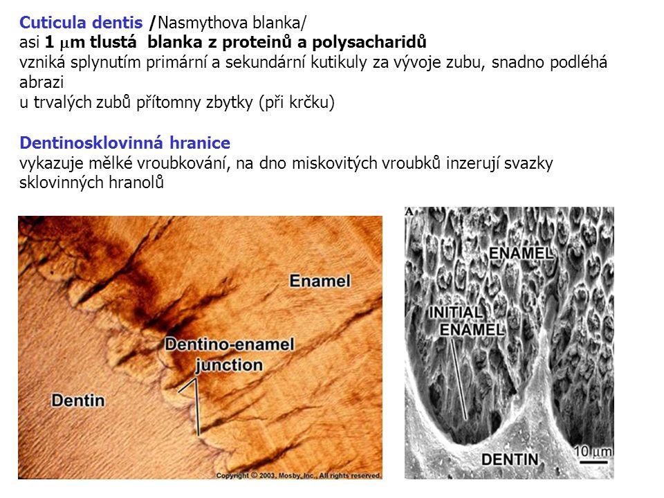 Cuticula dentis /Nasmythova blanka/