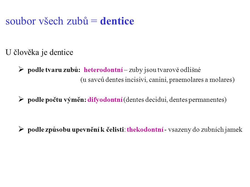 soubor všech zubů = dentice