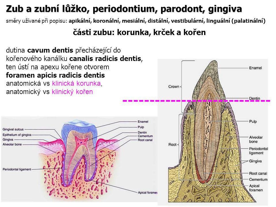části zubu: korunka, krček a kořen