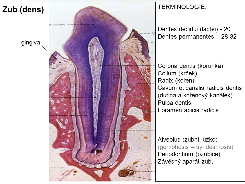 Zub (dens) TERMINOLOGIE: Dentes decidui (lactei) - 20