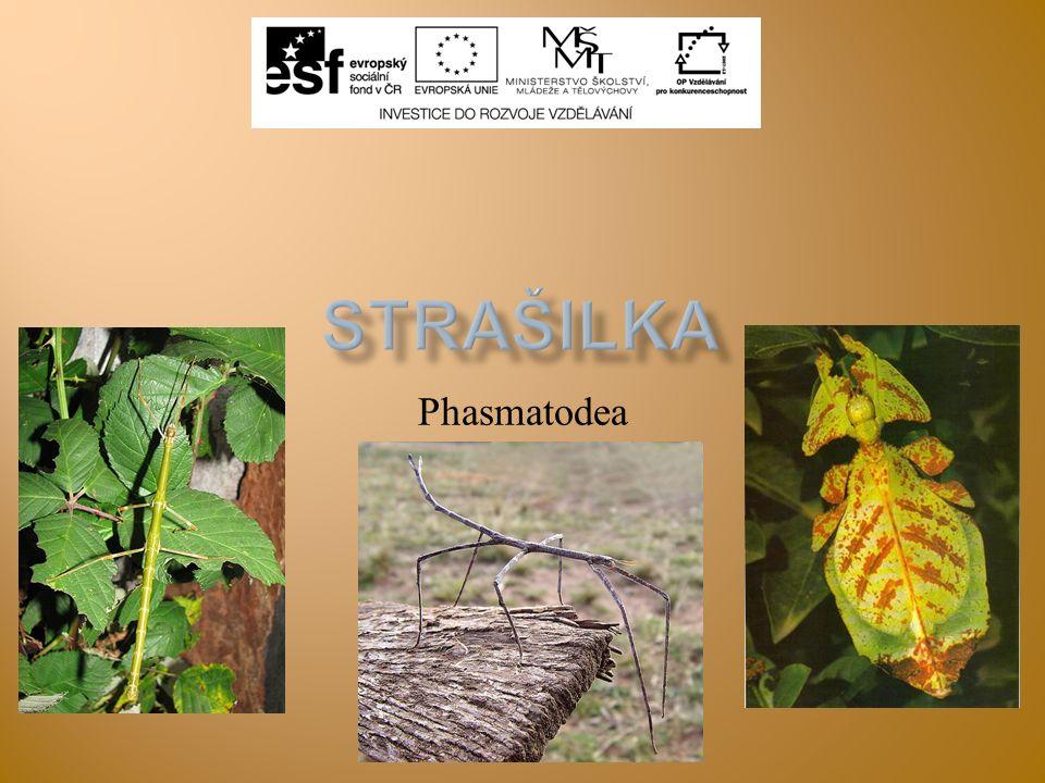 Strašilka Phasmatodea
