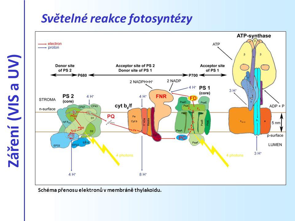 Záření (VIS a UV) Světelné reakce fotosyntézy