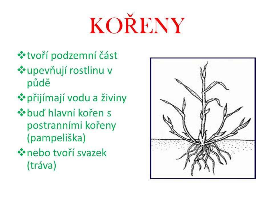 KOŘENY tvoří podzemní část upevňují rostlinu v půdě