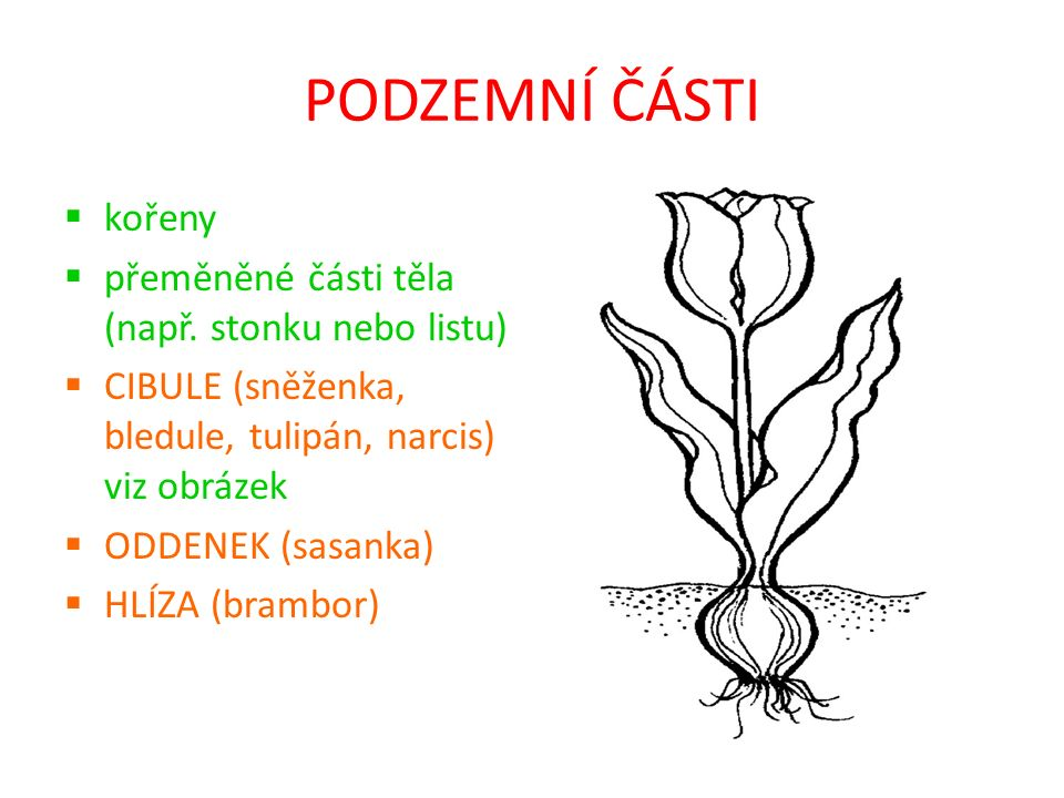 PODZEMNÍ ČÁSTI kořeny přeměněné části těla (např. stonku nebo listu)