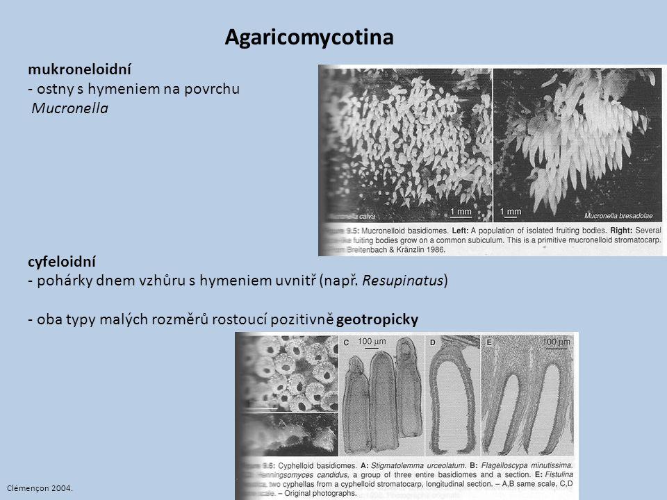 Agaricomycotina mukroneloidní - ostny s hymeniem na povrchu Mucronella